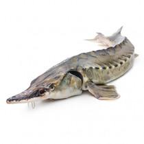 Северная якутская рыба Осетр дикий свежемороженый