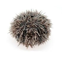 Морской еж (серый)