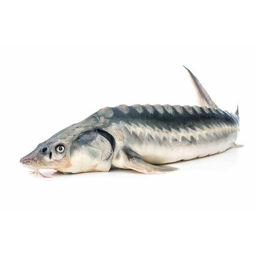 Северная якутская рыба Осетр дикий свежемороженый  (арт. СФИ)
