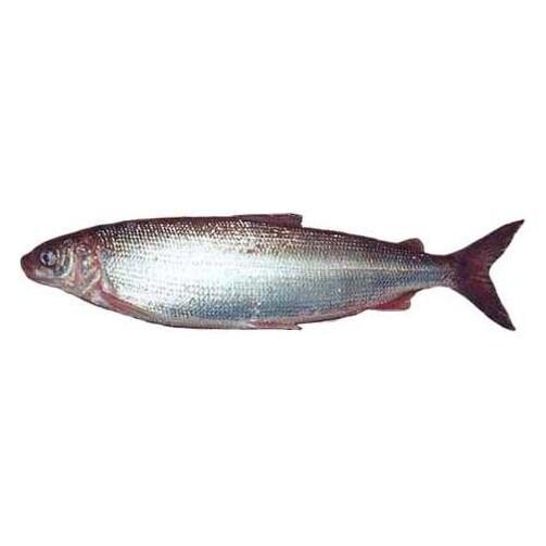 Северная якутская рыба Сиг свежемороженый  (арт. СФИ)